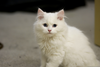 Fluffy White Cats Image