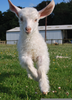 Baby Goats Jumping Image