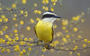 Great Kiskadee Texas Animal Image