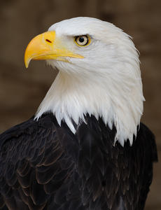 Bald Eagle Of America Image