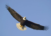 Bald Eagle Flying Image