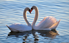 Swan Love Photography Image