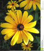 Free Clipart Of Black Eyed Susan Image