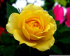 Yellow Rose Of Texas Clipart Image
