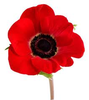Poppy Flower Image