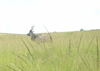 Eland In Grass Image