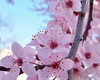 Clipart Japanese Cherry Blossoms Image