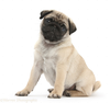 Fawn Pug Pup Weeks Old Sitting White Background Image