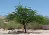 A Mesquite Tree In The Binghampton Cemetery Image