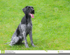 German Wirehaired Pointer Clipart Image