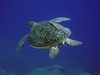 Dahab May Hawksbill Sea Turtle V Image
