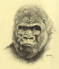 Gorilla Drawing By Manu Image