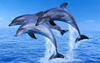 Dolphins Jumping Wallpaper Image