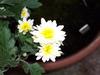 White Daisy Image
