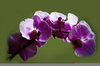 Purple Orchids Images Image