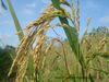 Wheat Grains Plant Stem Image
