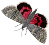 Vintage Butterfly Real Red Grey Image