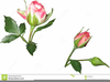 Rose Buds Clipart Image