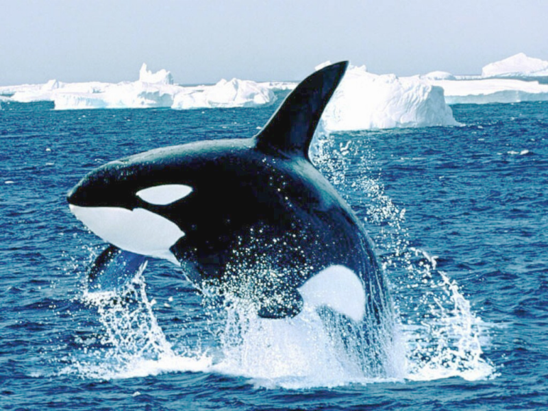 Killer Whale Jumping | Free Images at Clker.com - vector ...