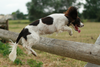 Dog Jumping Over Fence Image
