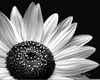 Black And White Clipart Of Sunflowers Image