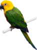 Parrot Png Image