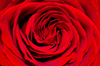 Red Rose Background Image