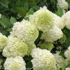 Limelight Hydrangea Hedge Image
