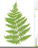 Fern Frond Clipart Image