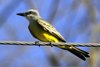 Tropical Kingbird Pictures Image