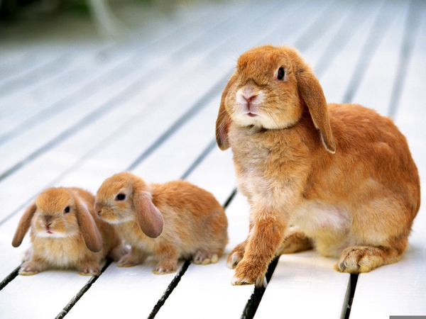 Bunny lop. Holland rabbit clipart free