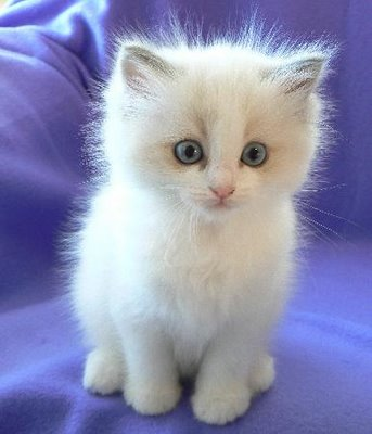 Small ragdoll cat