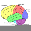 Frontal Lobe Clipart Image