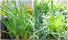 Spring Onions Growing Image