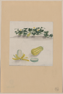 Delicata Squash With Plant Vines Growing In The Background Image