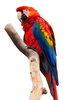 Scarlet Macaw Isolated Image