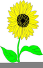 Clipart Sunflower Pictures Image