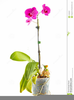 Orchid Flower Clipart Image