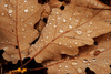 Water Drops On Leaves Aj Image