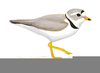 Piping Plover Clipart Image