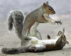 Fighting Squirrels Image