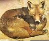 Newborn Red Foxes Image