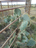 Prickly Pear Image