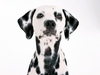 Dalmatian Dog Wallpaper Image