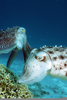 Cuttlefish Laying Eggs Image