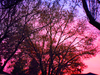 Pink Sunrise Through Trees Richmond Image