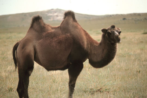 Camel In Mongolia Image