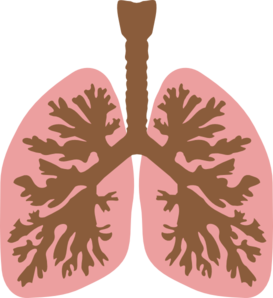 Lungs And Bronchus Clip Art
