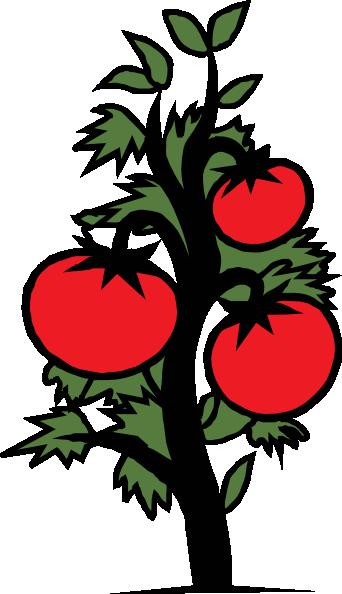 Tomato Plant Illustration