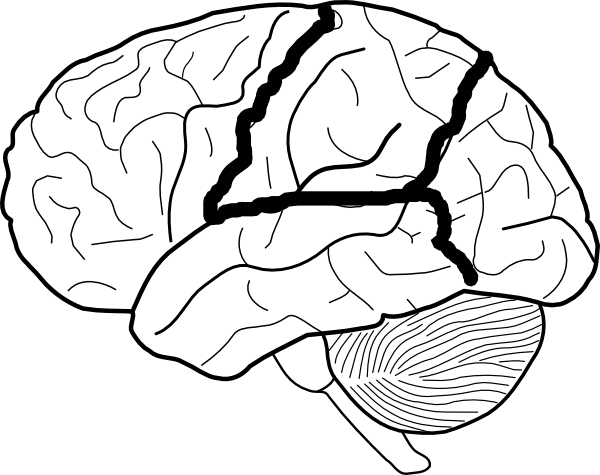 brain skech with lobes outlined clip art at clker com